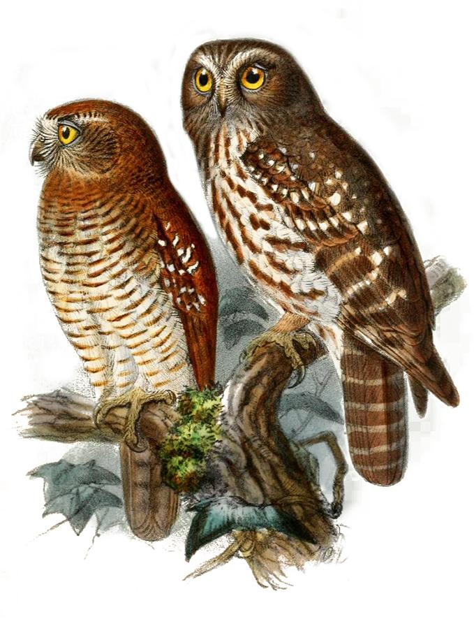 Brown Hawk Owl clipart Clip Art owl Moluccan drawing