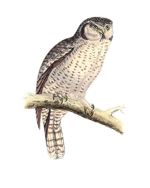 Brown Hawk Owl clipart Download drawings #4 Download Brown