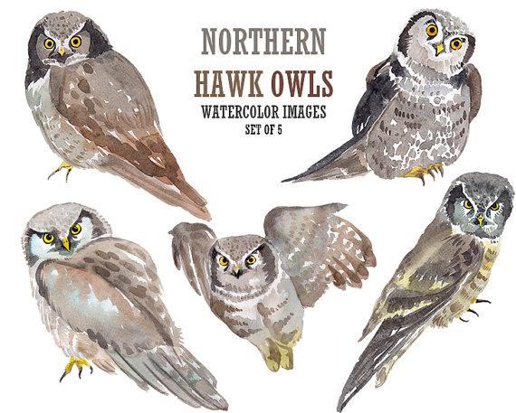 Brown Hawk Owl clipart Download drawings #6 Download Brown