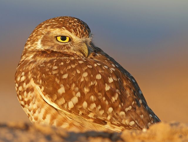 Brown Hawk Owl clipart burrowing owl On Burrowing Best and this