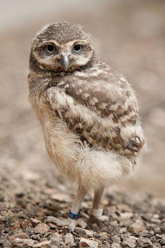 Brown Hawk Owl clipart burrowing owl Burrowing 135 images best Owls