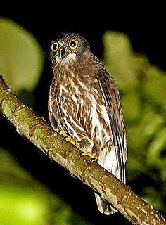 Brown Hawk Owl clipart happy From по widespread Hawk Hawk
