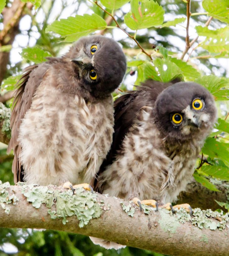 Brown Hawk Owl clipart happy Best on Moments Dubai Owl