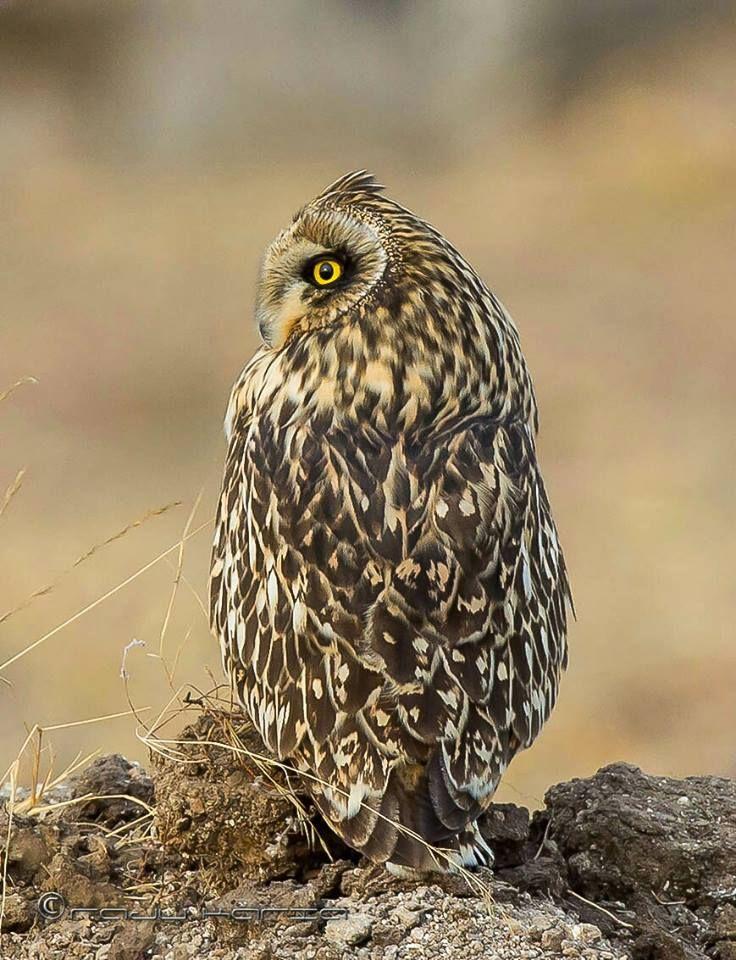Brown Hawk Owl clipart happy Prey on owl 2328 Pinterest