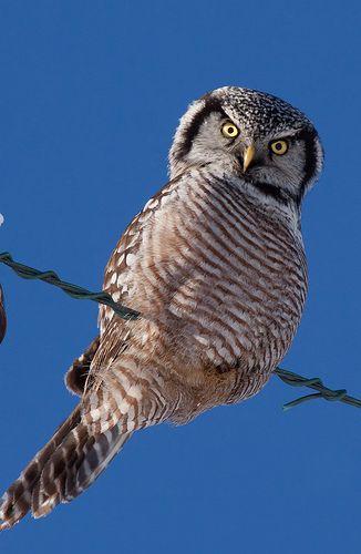 Brown Hawk Owl clipart harry potter owl 17 Owl Pinterest images Owls