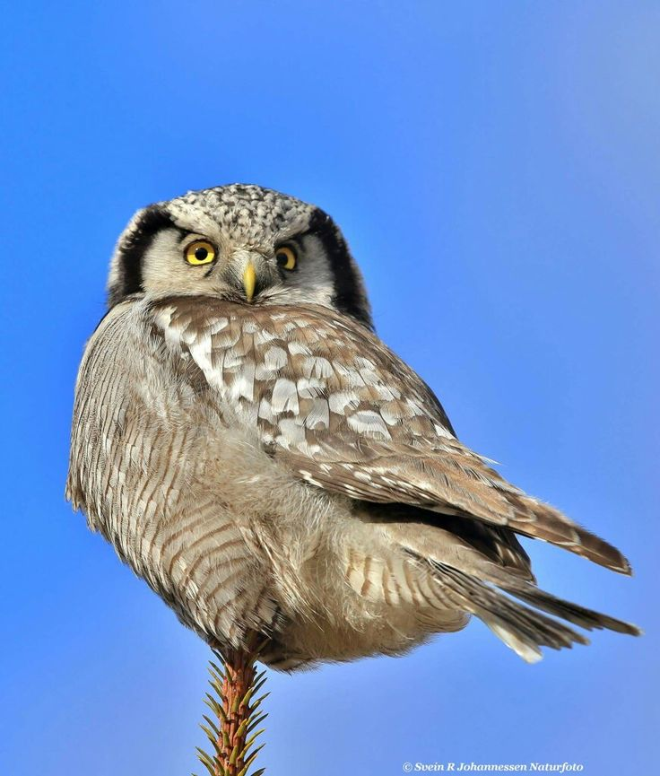 Brown Hawk Owl clipart harry potter owl On ulula best owl Owl