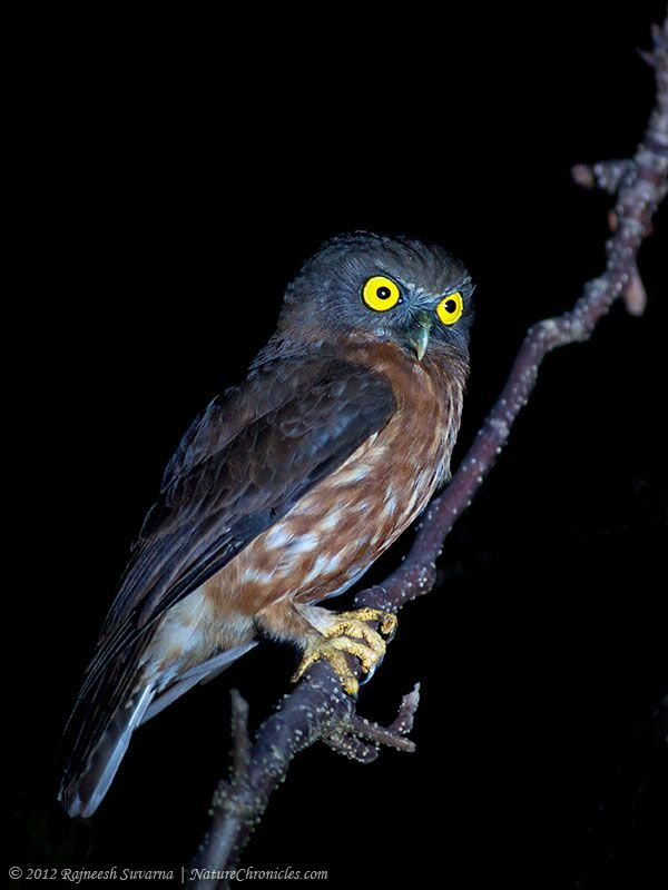 Brown Hawk Owl clipart sketch Owl (Ninox Photo Andaman OwllwO