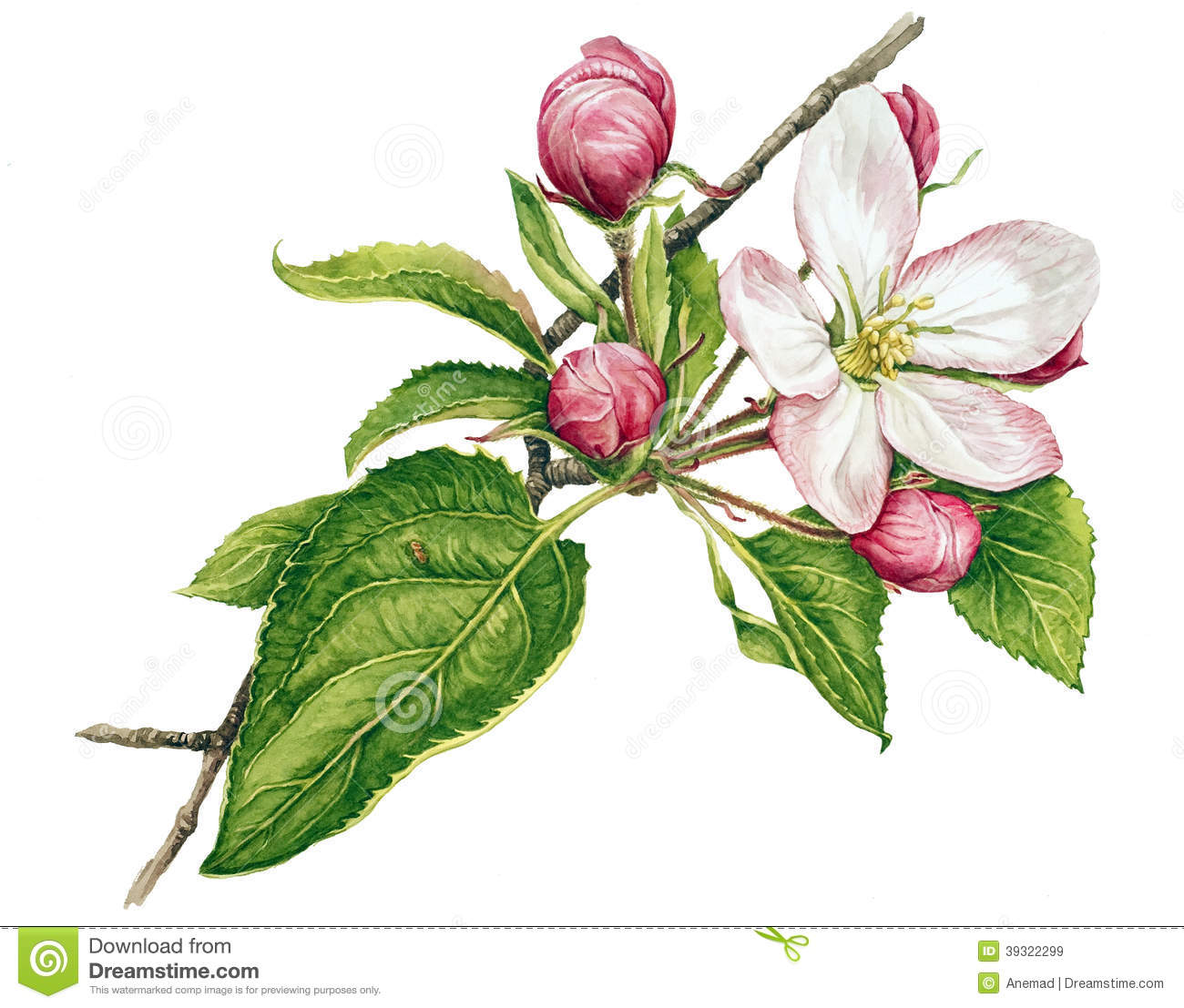 Cherry Tree clipart apple blossom Explore Pinterest Drawings drawings Botanical