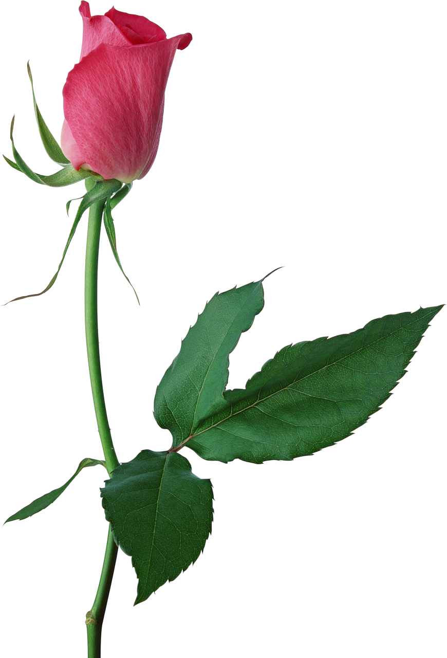 Bud clipart rose bud  Pink buds Large Rose
