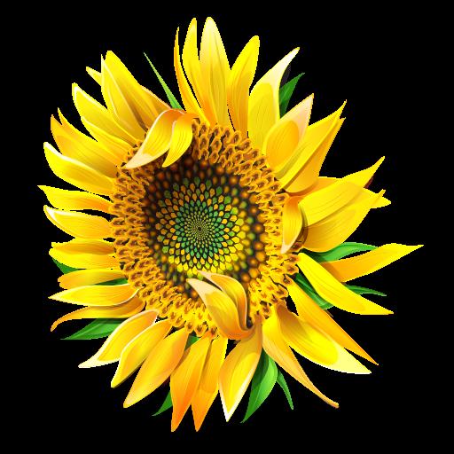 Bud clipart sunflower IconBug ClipArt Format: Blossom Image