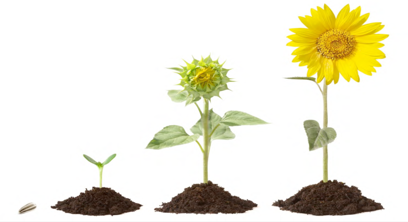 Bud clipart sunflower To Always sunflower about