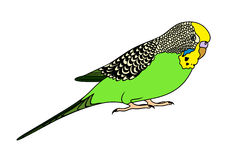 Budgie clipart blue and yellow Budgie clipart Budgie Download Download