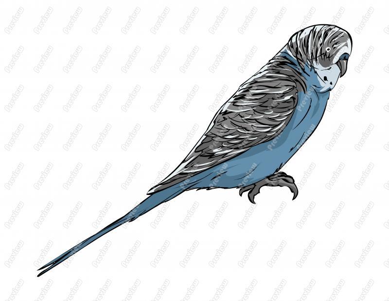 Budgerigar clipart Bird  Character Clip Realistic