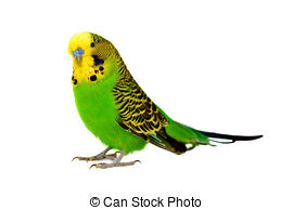 Budgie clipart blue and yellow 1 Budgerigar Stock up portrait