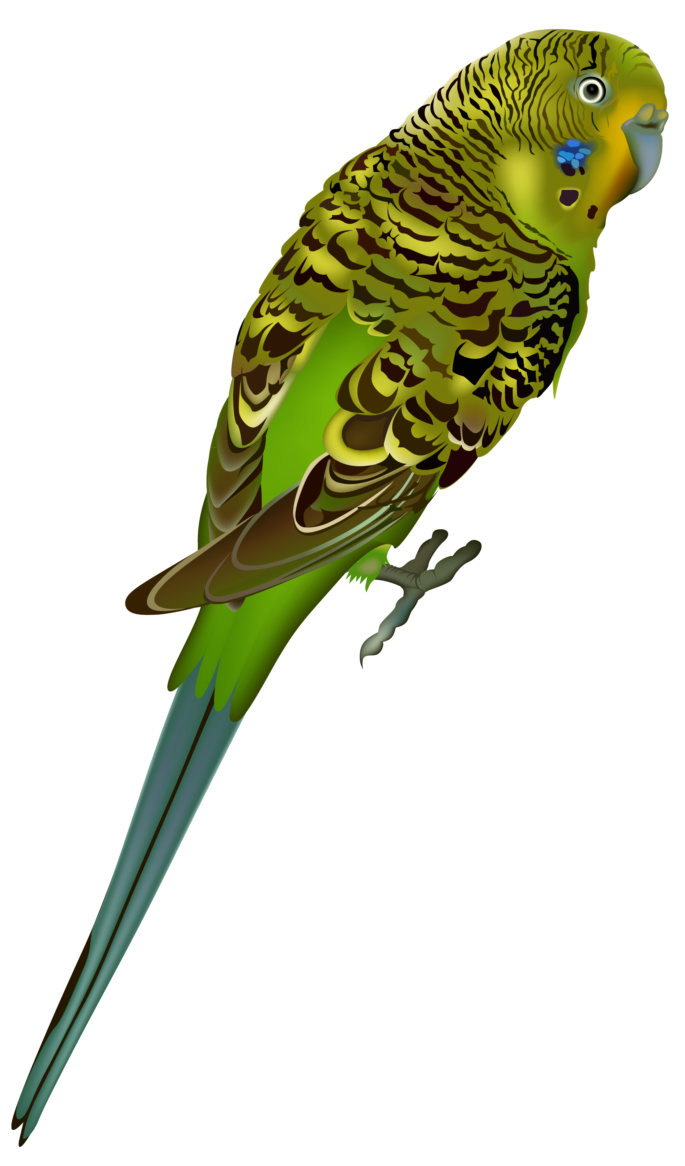 Budgie clipart Budgie Budgie Download #1 clipart