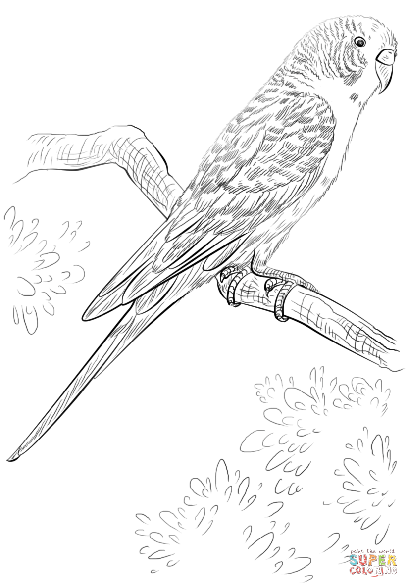Drawn parakeet colouring page Free Pages Printable Click page