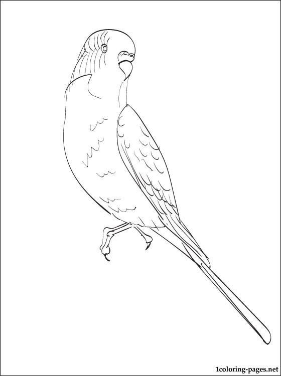 Drawn parakeet colouring page Coloring 3 pages Pinterest Budgie