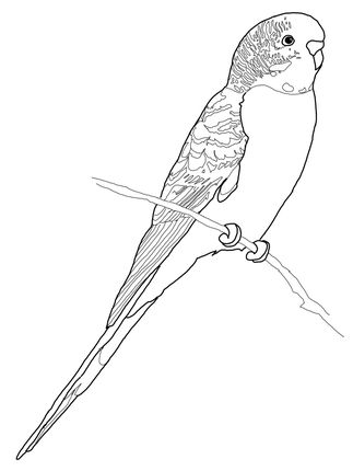 Budgerigars clipart budgie Page see Click best Parrot