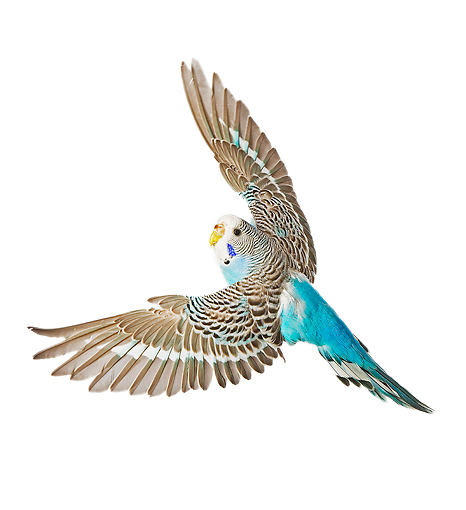 Budgerigars clipart blue Blue Art Budgies Blue and