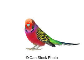 Budgerigars clipart budgie Photography Budgerigar budgerigar portrait and