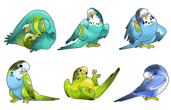 Budgerigars clipart blue 23 vagrantvulpes budgies Ass on