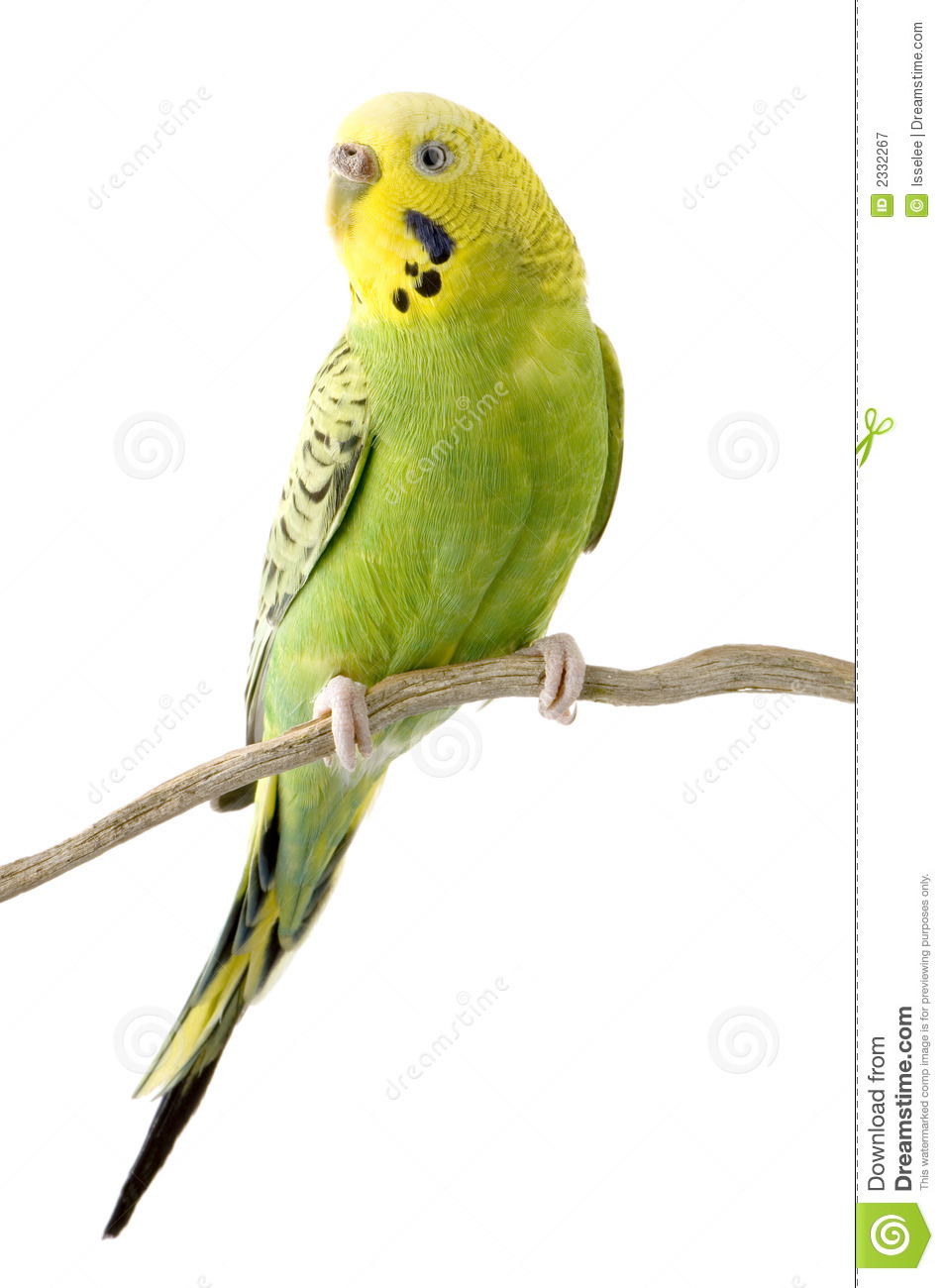 Yellow clipart parakeet Pair cliparts Clipart Parakeets Of