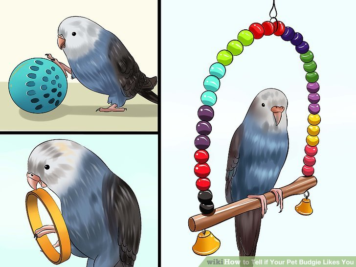 Budgie clipart pet bird To Ways 4 wikiHow Budgie