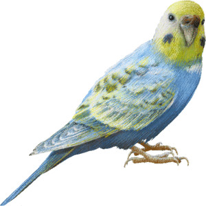 Budgie clipart black and white Graphics graphics (Fr Parakeet clipart