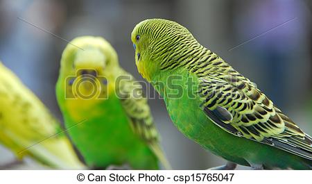 Budgie clipart pet bird Budgie green yellow known Photo