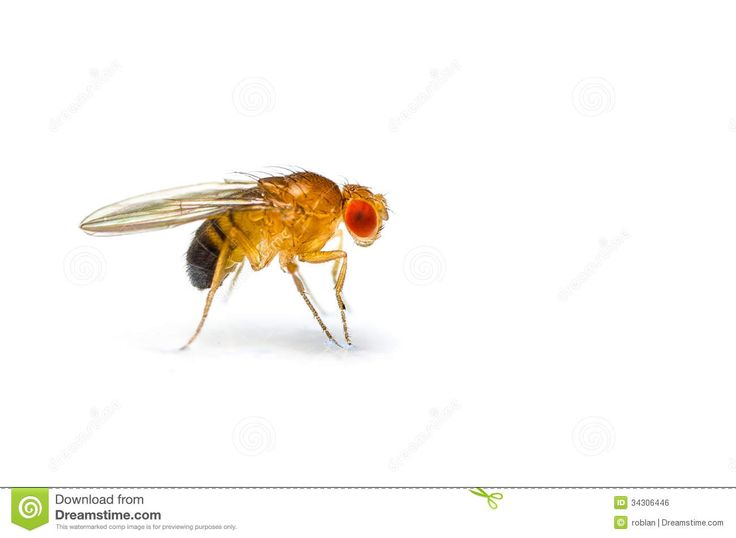 Bug clipart fruit fly Flies Art Fly Fruit 11