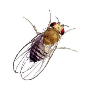 Bug clipart fruit fly Webquest School Home Rye yz