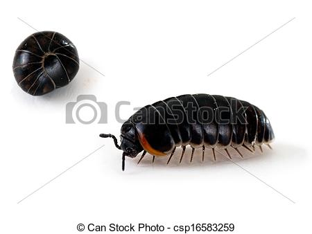 Bugs clipart roly poly Aka roly Stock Armadillidium roly