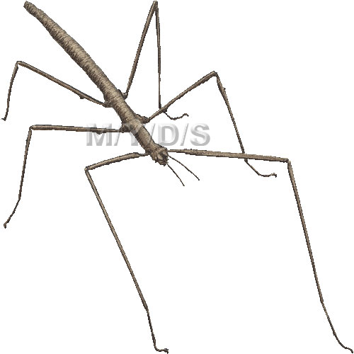 Bug clipart walking stick Bug Stick (Free clip Insect
