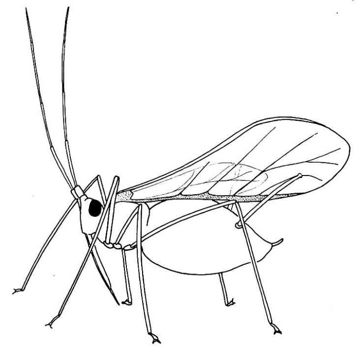 Bugs clipart aphid Bugs buggy on 86 rodents