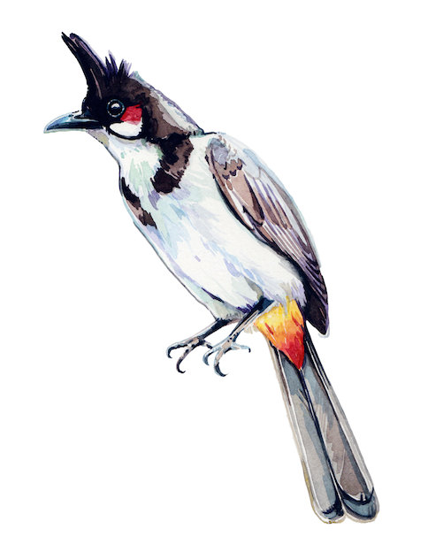 Bulbul clipart bird #18 Download clipart Download drawings