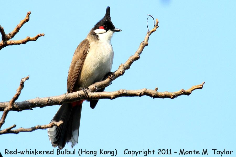 Bulbul clipart red whiskered Whiskered whiskered winter Bulbul (Hong