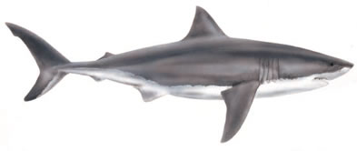 Bull Shark clipart Shark and white arts picture
