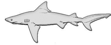 Bull Shark clipart open shark mouth Picture clipart Shark of shark