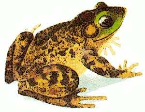 Bullfrog clipart Clip Bullfrog Art Download Bullfrog