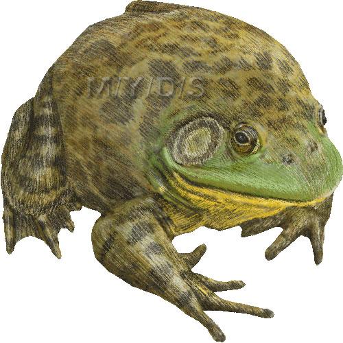 Bullfrog clipart Clipart Bullfrogs picture (Free Bullfrog