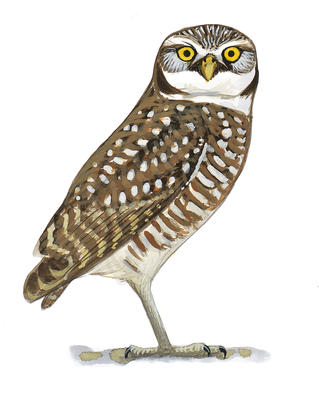 Barred Owl clipart burrowing owl Owl Audubon Burrowing Owl Burrowing
