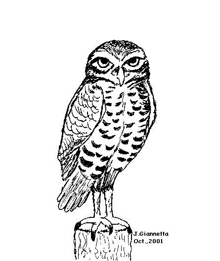 Barred Owl clipart burrowing owl (endangered (endangered  Owl Owl