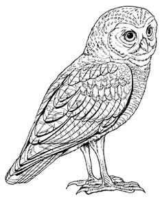 Barred Owl clipart burrowing owl Owl and Free step Art