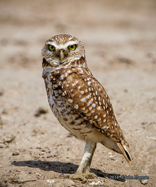 Barred Owl clipart burrowing owl Owl Photos Burrowing Owl Migratory