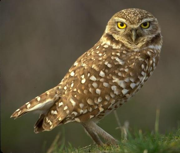Burrowing Owl clipart snowy owl Digger Guardians of Ga'Hoole cunicularius