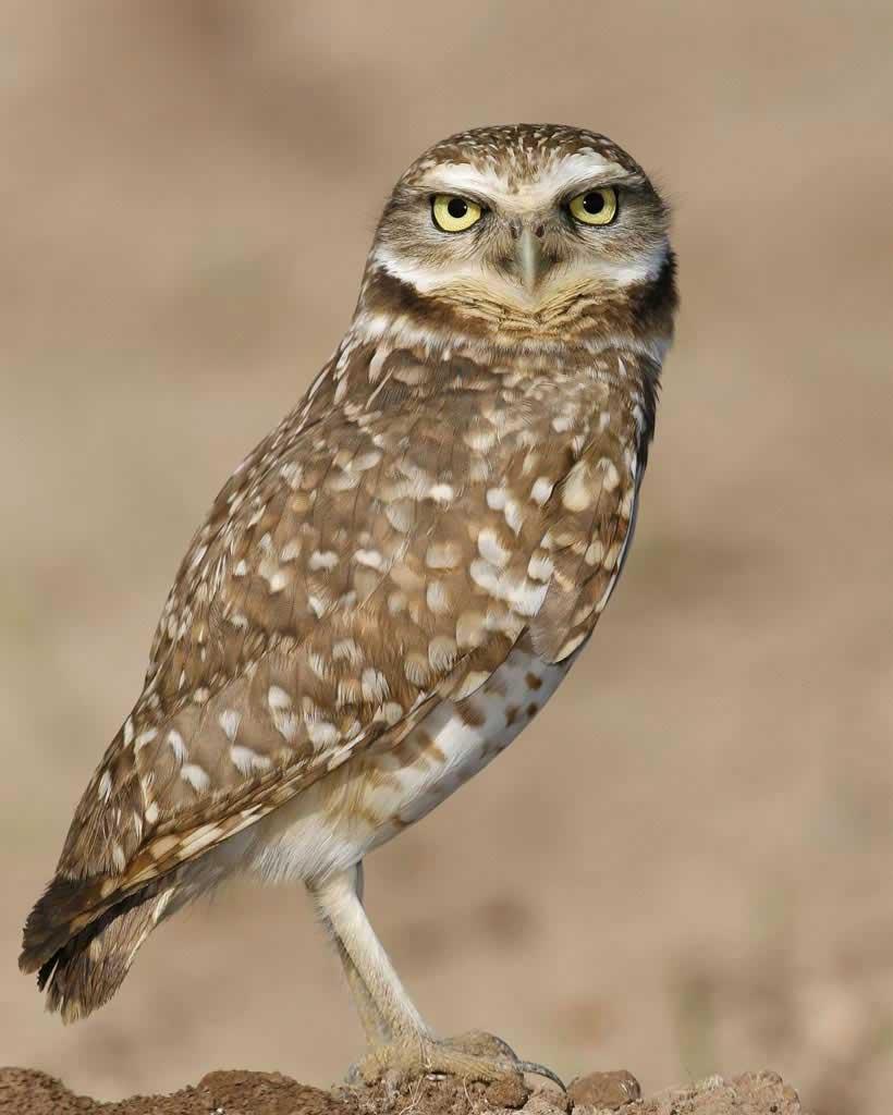 Brown Hawk Owl clipart burrowing owl Owl Gallery Burrowing Audubon Guide