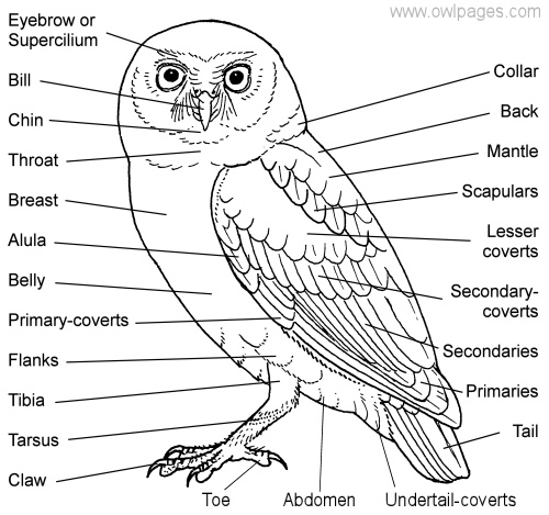 Burrowing Owl clipart snowy owl Owl_parts_1 — Ojai Raptor 2