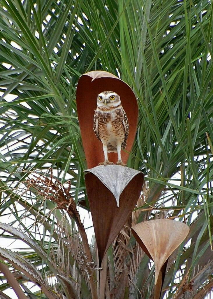 Burrowing Owl clipart snowy owl On Pinterest Burrowing best images
