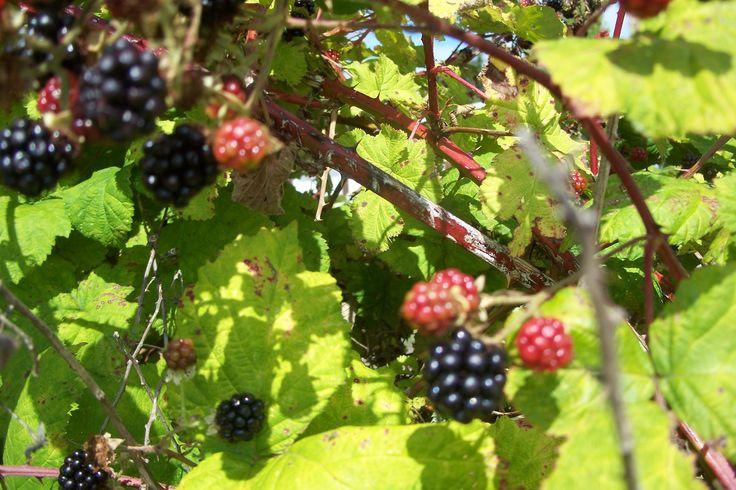 Bush clipart blackberry bush  Garden bushes Blackberry My