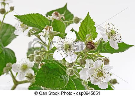 Bush clipart blackberry bush Blackberry Blackberry Stock blossoms and